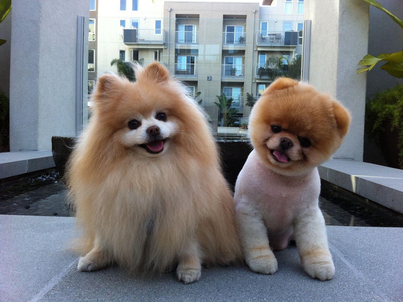 Бу - самая популярная собака на Facebook, на ее страничку заходят